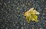 mapel leaf on gravel