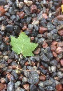 mapel leaf